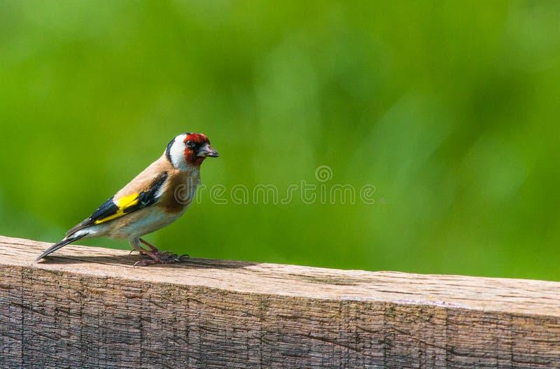 Европейский Goldfinch (щегол щегла) стоковое изображение rf