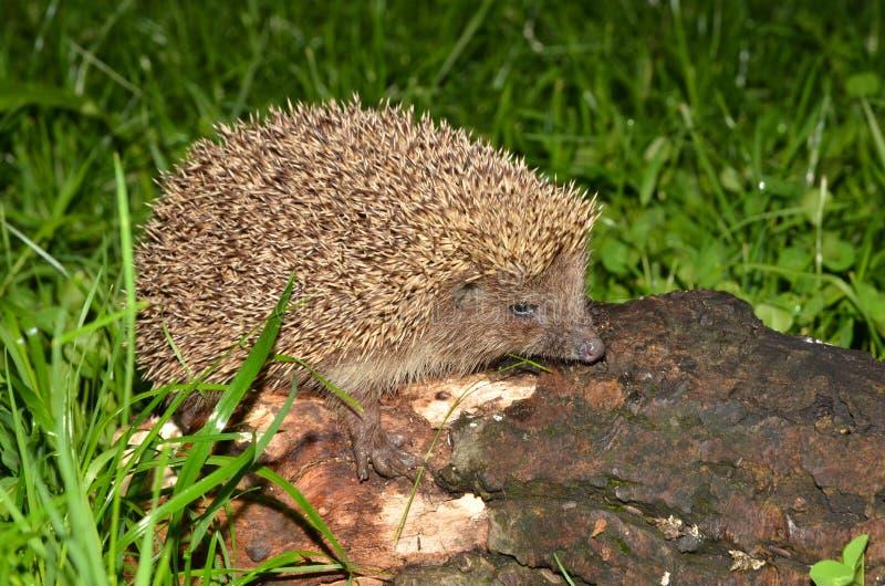 европейский hedgehog стоковое фото