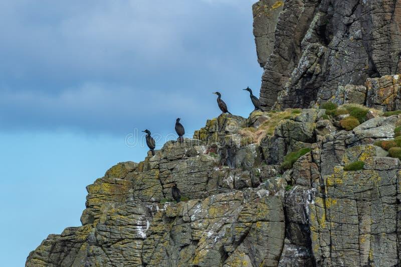 Европейский Phalacrocorax aristotelis на утесе, остров Shag неба стоковая фотография