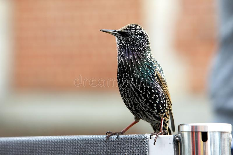 Европейский starling умоляя для еды стоковое фото