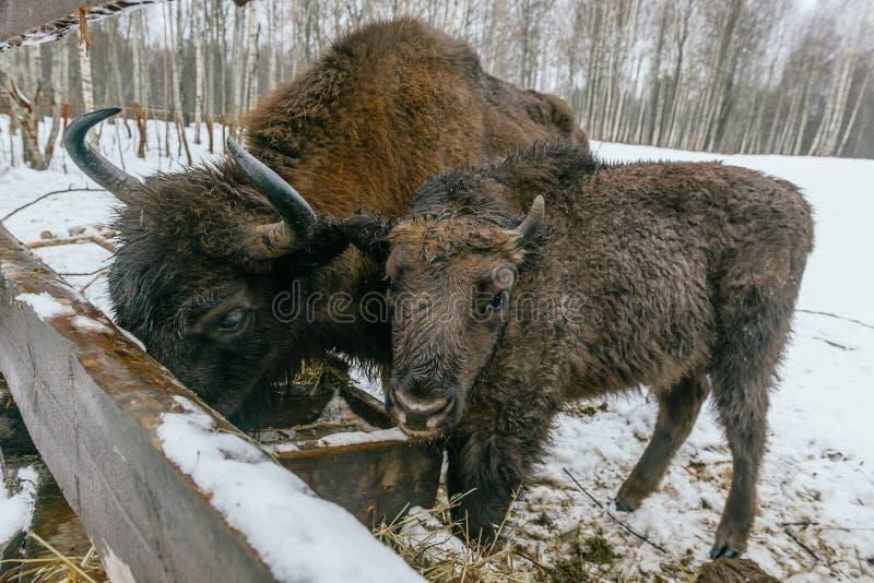 2 европейских бизона едят травы велюров стоковые изображения
