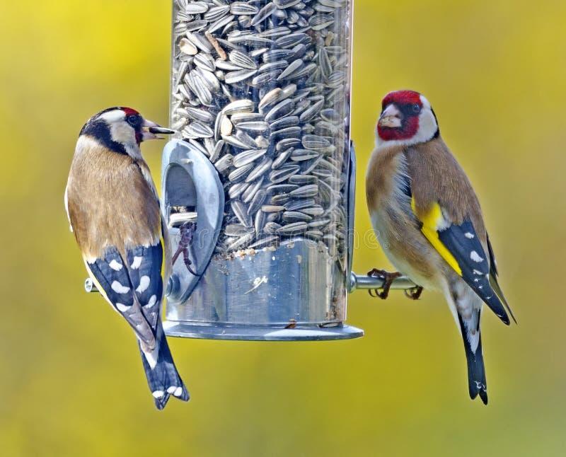 2 европейских goldfinches стоковые изображения rf