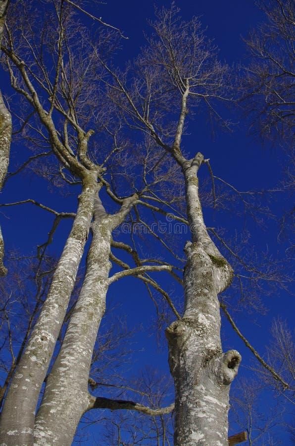 Европейское дерево бука стоковые изображения