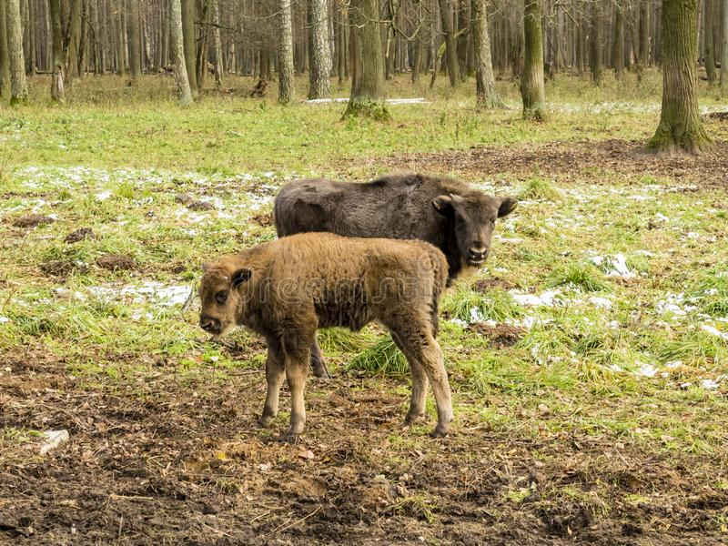 Европейское bonasus бизона бизонов, молодые животные, тур в лесе стоковая фотография