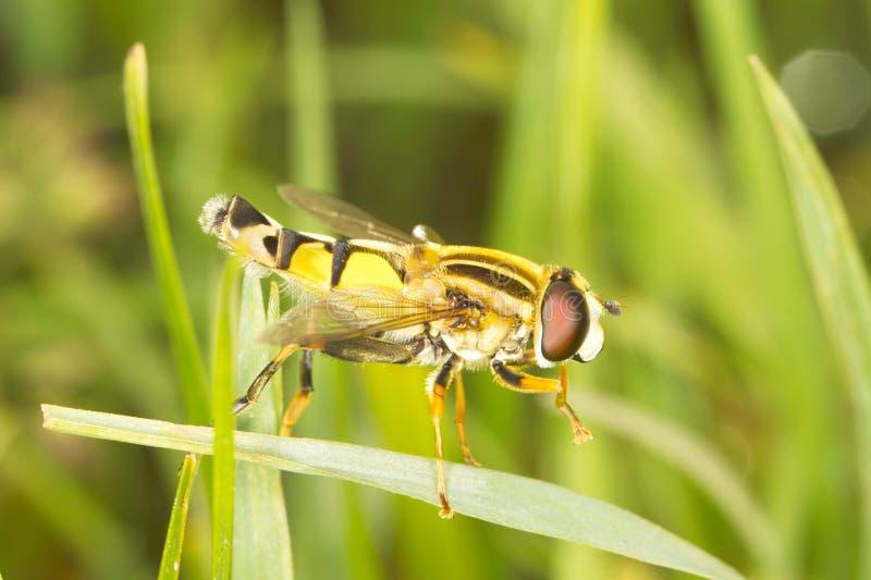 европейское helophilus hoverfly tr стоковая фотография rf