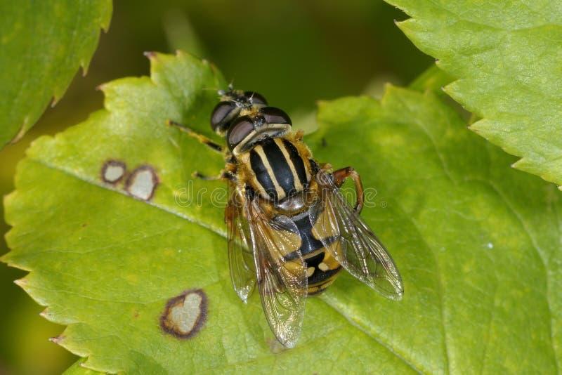 европейское helophilus pendulus hoverfly стоковые фото