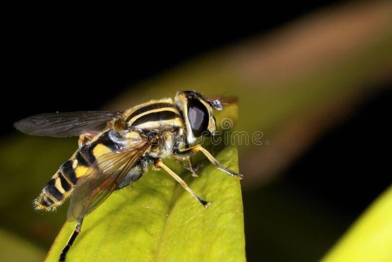 европейское helophilus pendulus hoverfly стоковые фотографии rf