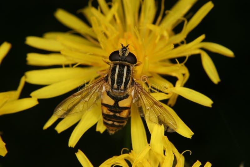 европейское helophilus trivittatus hoverfly стоковые изображения