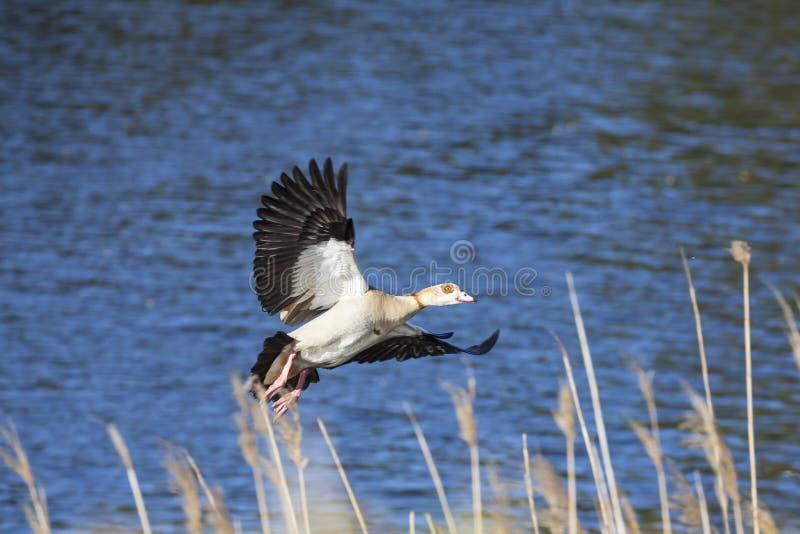 Египетская гусыня, aegyptiaca Alopochen, летая внутри для того чтобы приземлиться среди тростников на речном береге на восходе со стоковые фото