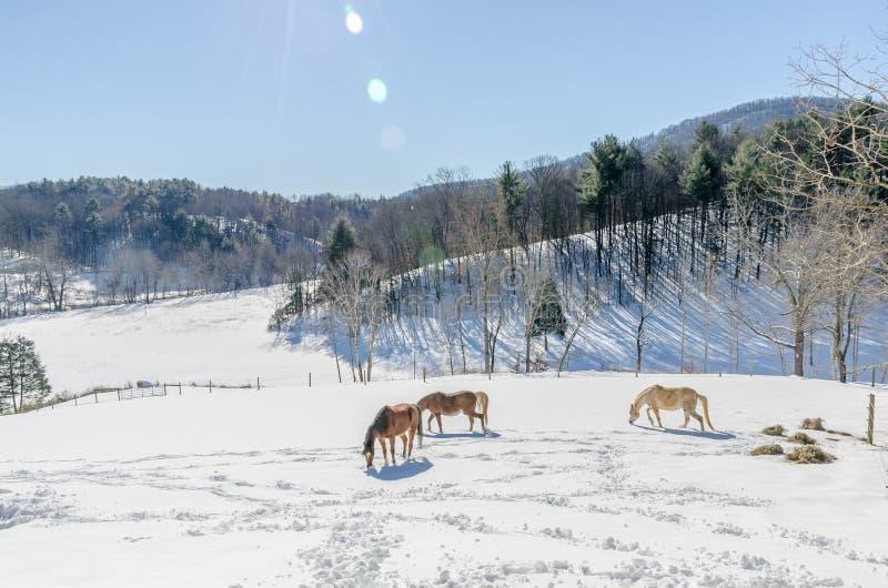 Египетские аравийские лошади в снеге стоковые фото
