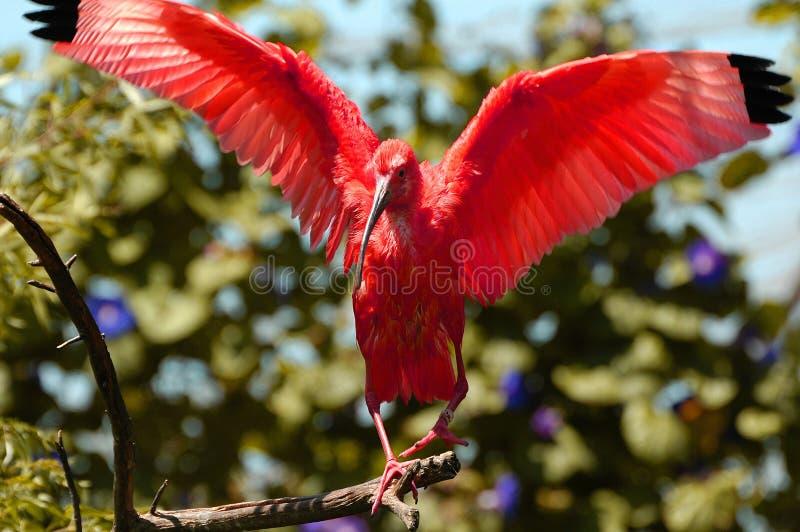 египетский ibis стоковое фото rf