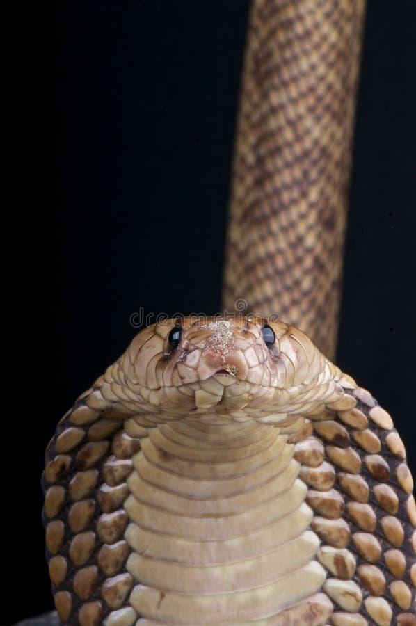 египтянин кобры стоковое фото