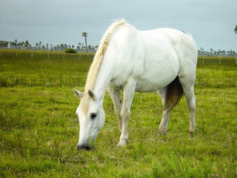еда белизны лошади травы стоковая фотография rf