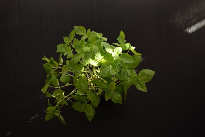 Еда листьев базилика среднеземноморская ест здоровье стоковое изображение