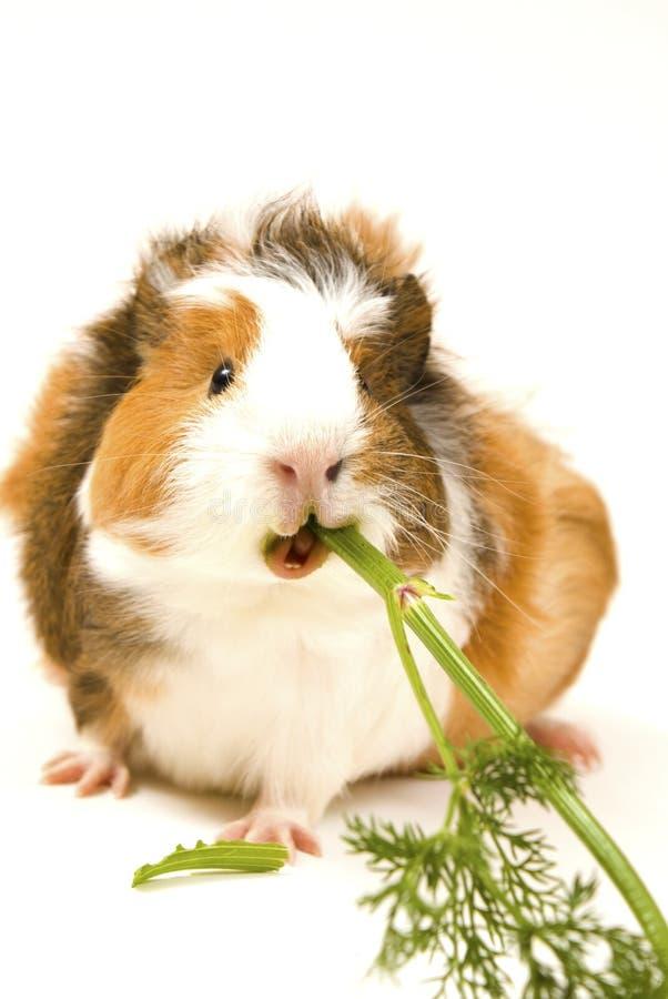 еда морской свинки стоковое фото