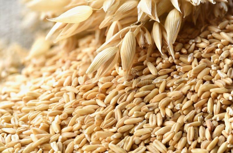 еда принципиальной схемы здоровая Все зерна овсов и spik овса стоковые фото