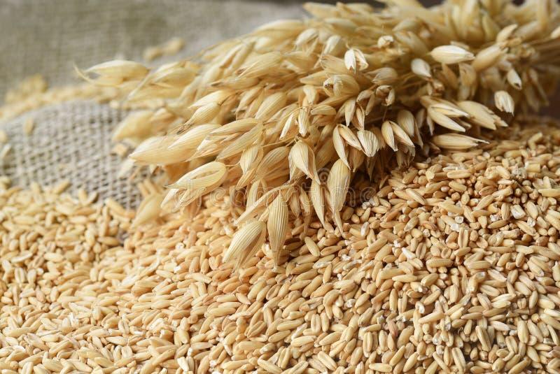 еда принципиальной схемы здоровая Все зерна овсов и spik овса стоковое фото