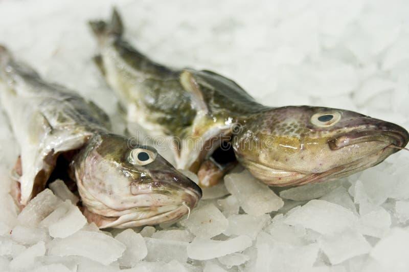 еда рыб трески стоковое изображение rf