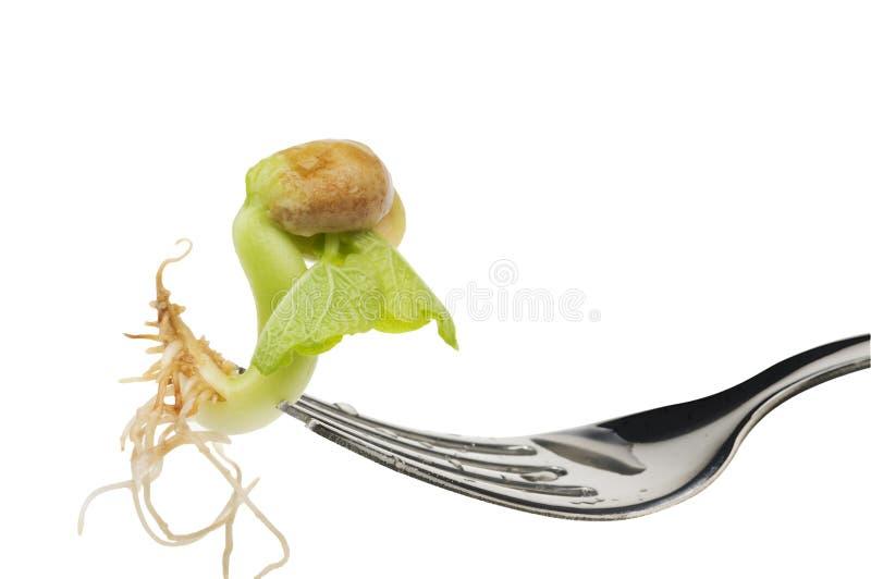 еда фасоли над белизной ростка стоковое изображение rf