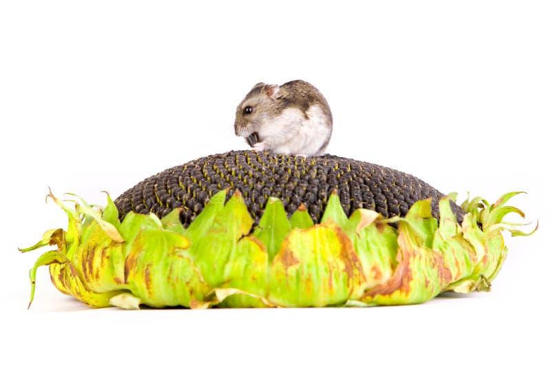 еда хомяка осеменяет солнцецвет стоковое изображение rf