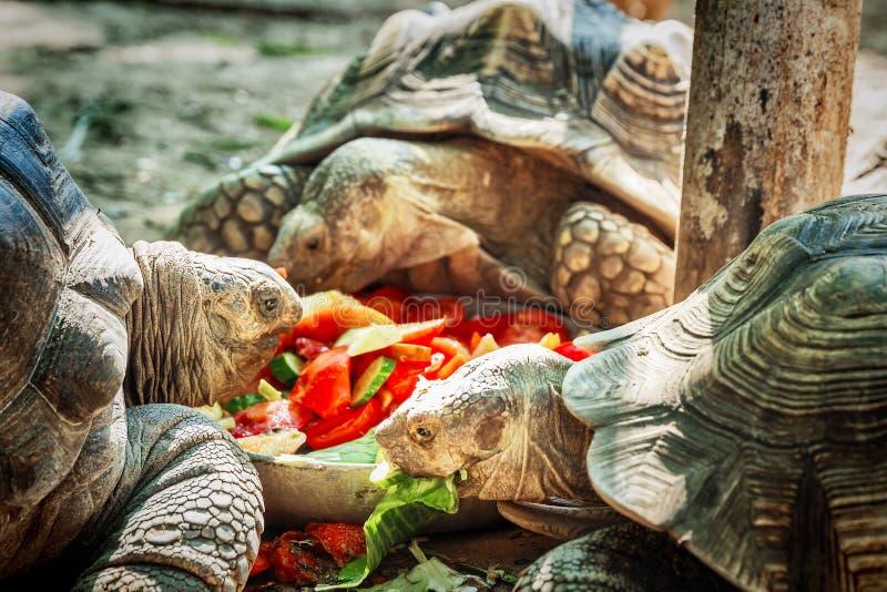 Еда черепах овощи в зоопарке ` сафари-парка ` стоковая фотография rf