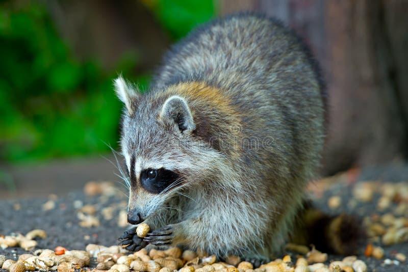 еда raccoon арахисов стоковое изображение