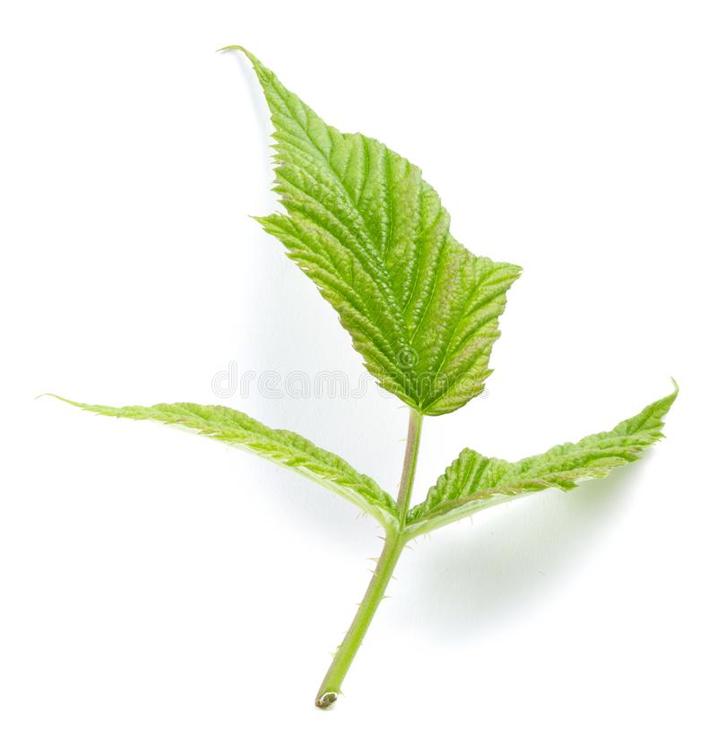 Ежевики зеленеют изолированные лист стоковое изображение rf