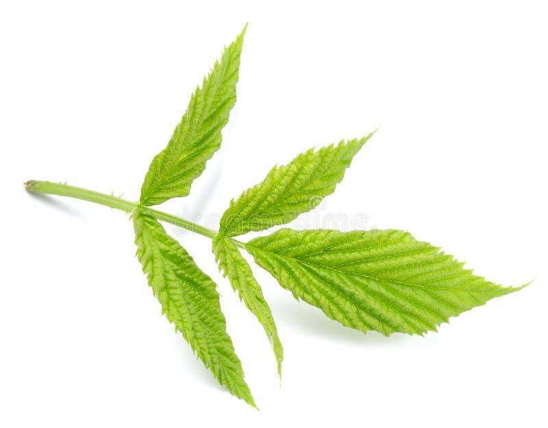 Ежевики зеленеют изолированные лист стоковые фото