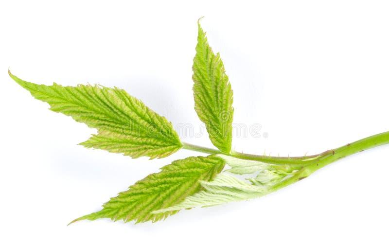 Ежевики зеленеют изолированные лист стоковое фото rf