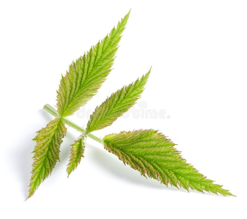 Ежевики зеленеют изолированные лист стоковое фото