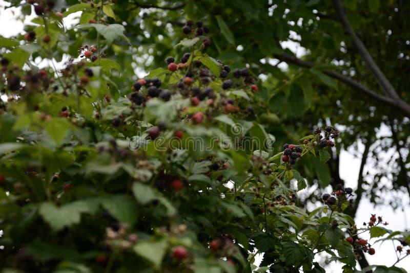 Ежевики рудоразборки фермера на поленике farmBlack душистой изумительны со своими плодоовощами стоковая фотография
