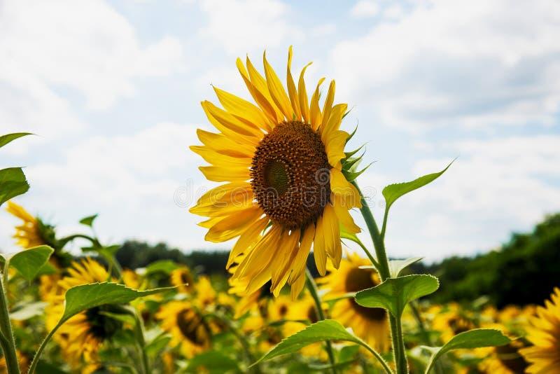 Ежегодник солнцецвета на солнечный день в поле стоковые изображения rf