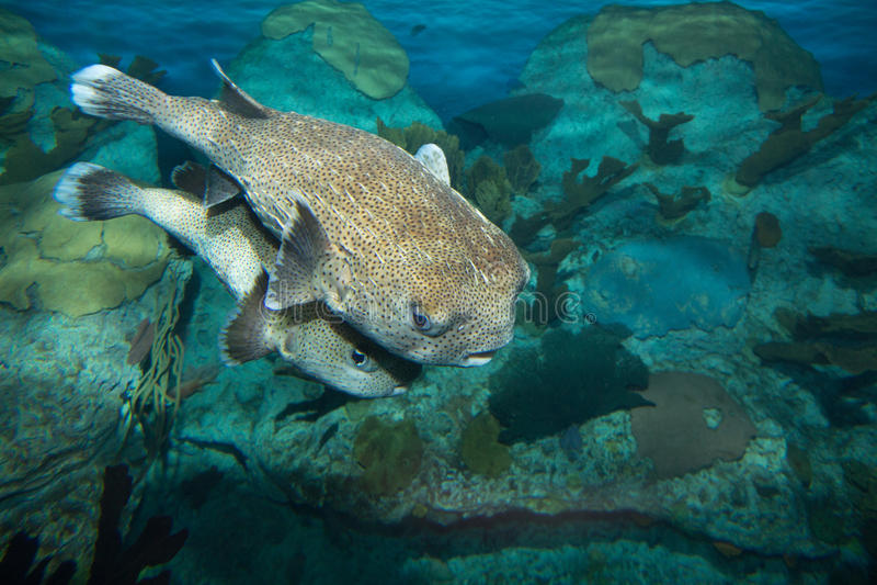 Еж рыба Spotfin стоковые фото