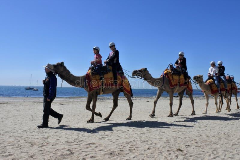 Езда верблюда на пляже Geelong Виктория Австралии стоковые фото