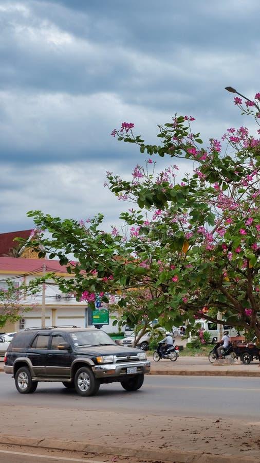 Езды вдоль дороги, цветеня автомобиля дерева с розовыми цветками, пасмурной погодой стоковое изображение rf