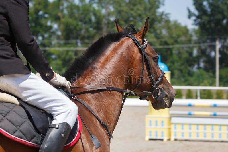 Езды наездника на конце лошади щавеля вверх на фоне препон стоковое фото