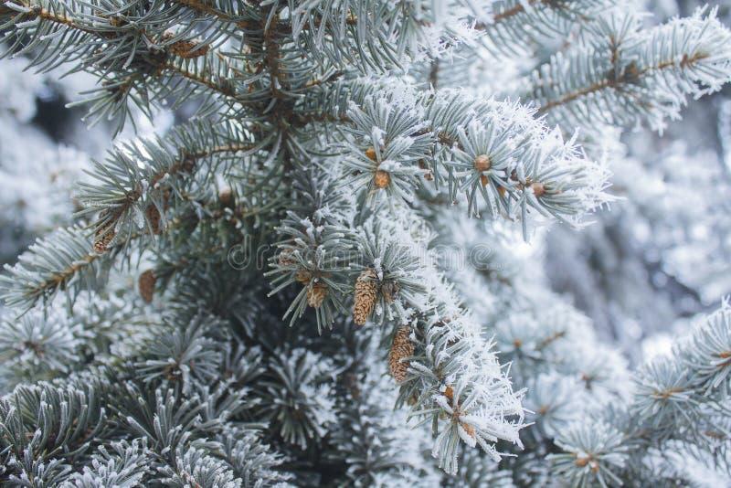 Елевая ветвь при конусы покрытые с снегом стоковые фотографии rf