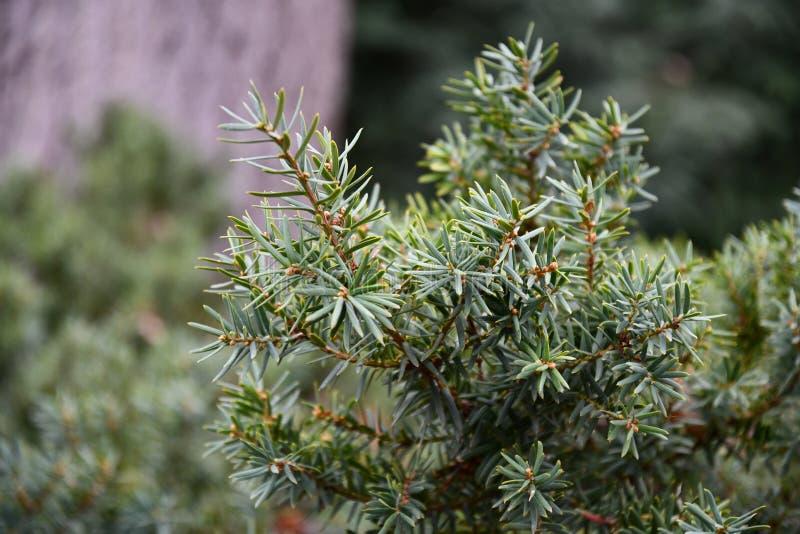 Елевые ветви дерева с запачканной предпосылкой стоковые фото