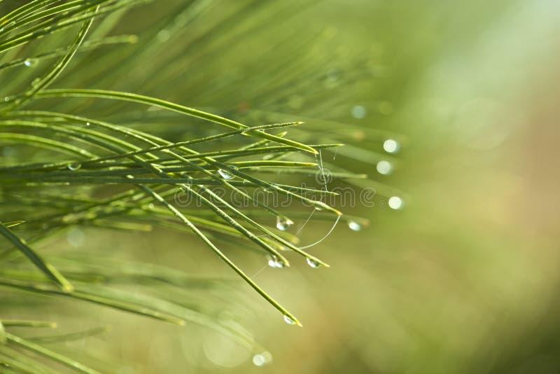 Елевые иглы дерева с капельками воды против зеленой предпосылки стоковая фотография rf
