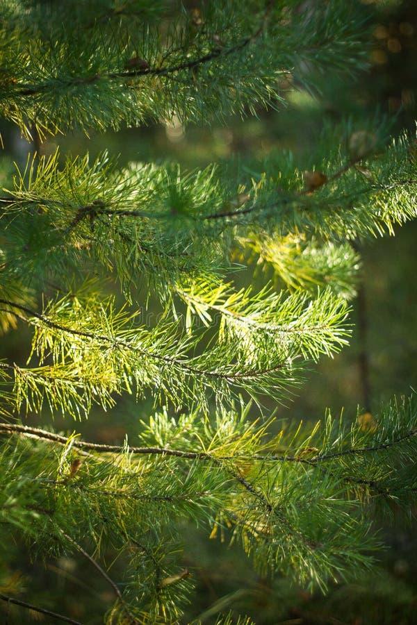 Елевые лапки в лесе стоковые фотографии rf