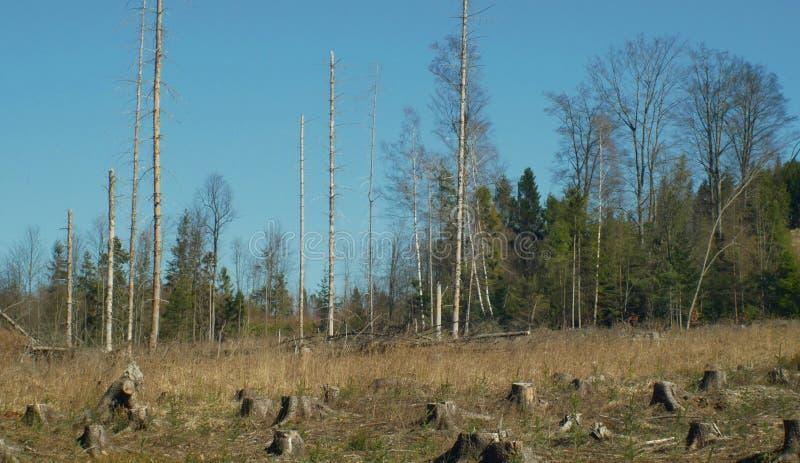 Елевые леса infested и атаковали европейским елевым typographus Ips бича жука коры, четкое бедствие причинили стоковые изображения rf