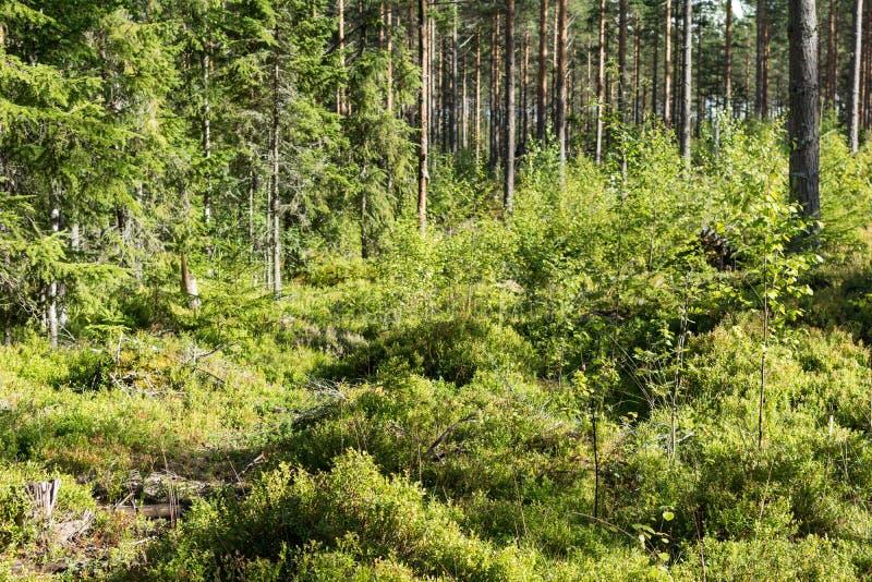 Елевый лес в Швеции стоковая фотография rf