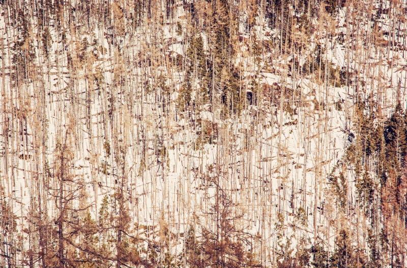 Елевый лес после стихийного бедствия в высоком Tatras стоковое изображение rf