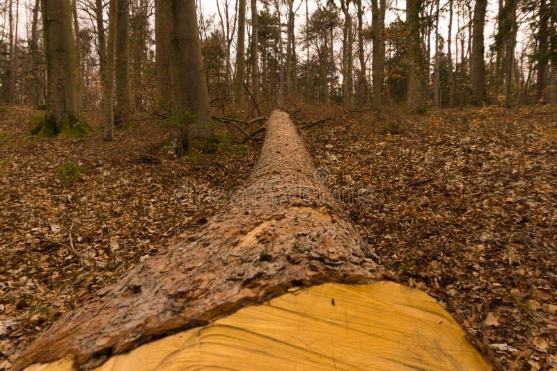 Елевый хобот в древесинах стоковое изображение