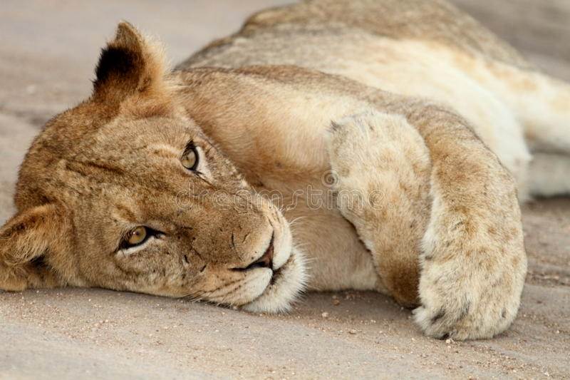 ленивый львев стоковое фото