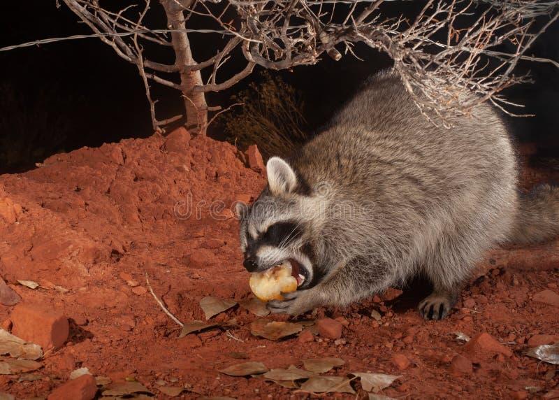 Енот закрывает его глаза по мере того как оно наслаждается сладким сочным яблоком груши на зябкой ночи зимы стоковая фотография rf