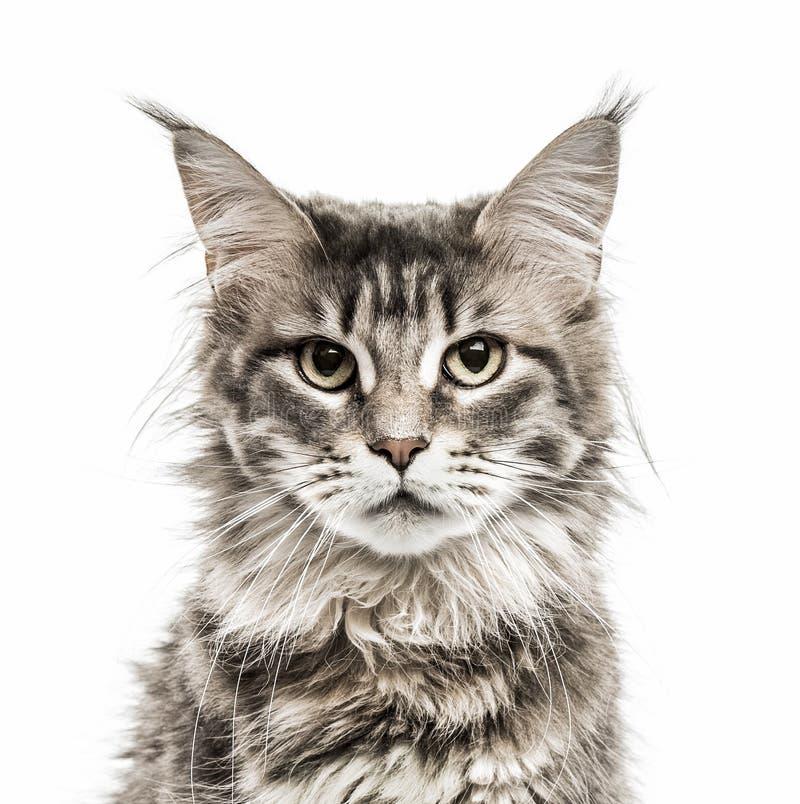 Енот Мейна изолированный на белизне стоковая фотография