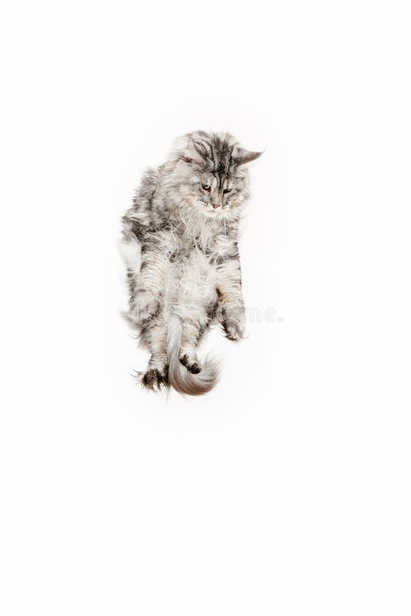 Енот Мейна скача и смотря прочь, изолированный на белизне стоковые изображения