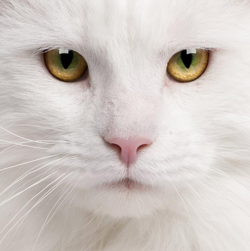 енот Мейн кота близкий вверх стоковая фотография
