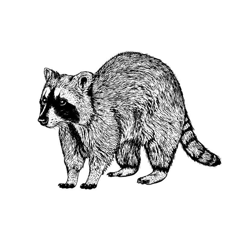 Енот нарисованный рукой Эскиз вектора бесплатная иллюстрация